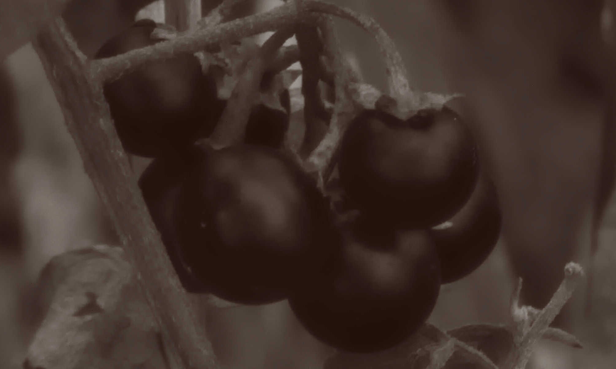 Purely decorative black & white very closeup image of a some deadly nightshade berries.