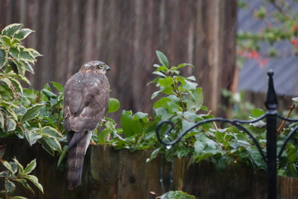 A Sparrowhawk sits on a garden fence in the rain