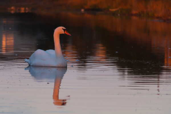 A close up of a swan reflected on a lightly rippled lake