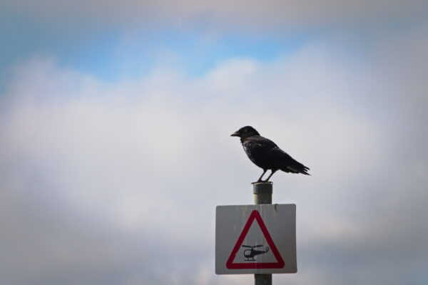 A crow sits on a small street sign of a helicopter in a red warning triangle