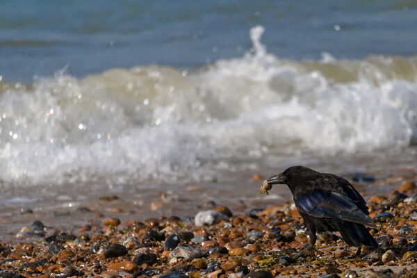 A crow on a pebbly beach with a crab in it's beak. surf breaks in the background.